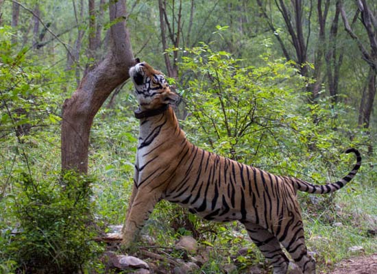 Sariska and Jaipur Tour Packages Book Sightseeing
